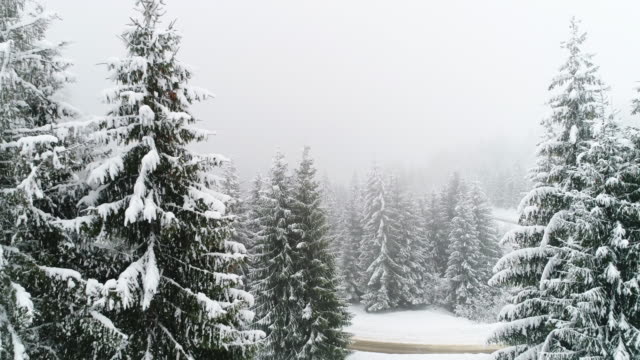 Winter Carpathian, fly over fir tree in the snowstorm