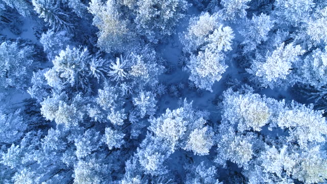 Winter forest landscape. The tops of trees in the snow from a bird's eye view.