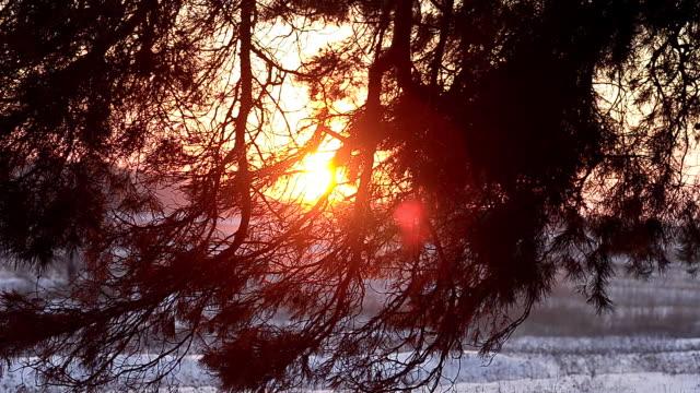 winterwald, kiefernzweige in strahlen der wintersonne, schneebedeckter wald bei sonnenuntergang schneeflocken funkeln in der sonne, aus nächster nähe. - kieferngewächse stock-videos und b-roll-filmmaterial