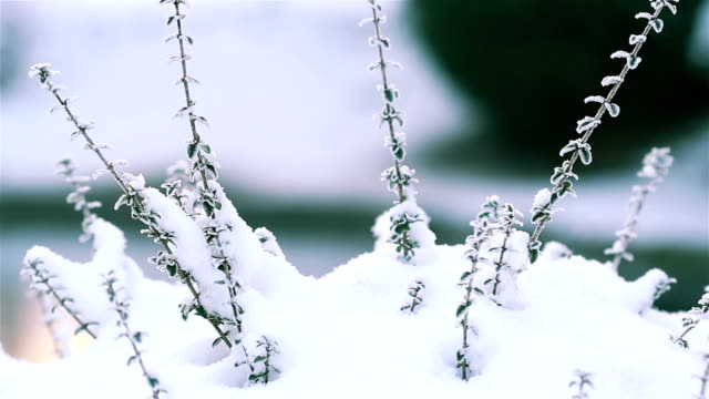 Winter landscape natural beauty : close up of  branch on a snowing day video