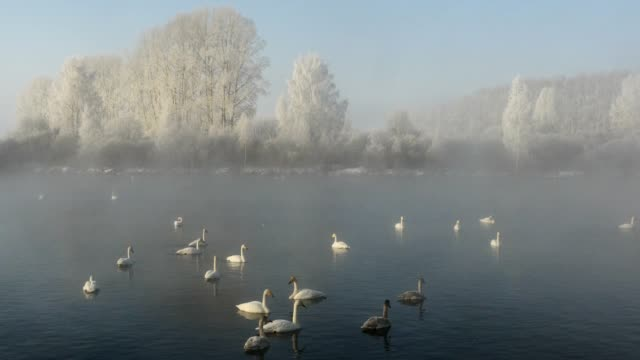 winterlandschaft schwanensee im misty morning - schwan stock-videos und b-roll-filmmaterial