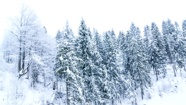 Winter landscape with high spruces and snow in mountains video