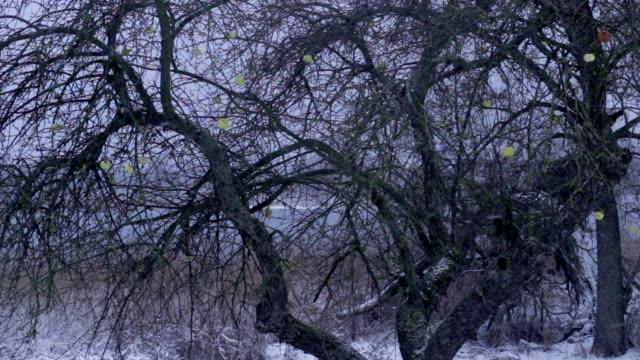 winter orchard, apple-tree video