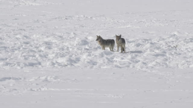 vídeos de stock e filmes b-roll de winter shot of a coyote pair standing in the snow at yellowstone - coiote