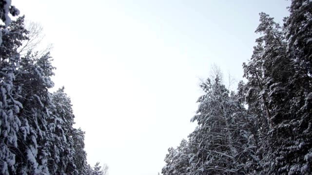 Winter Sky Through the Tops of Snow-Covered Pine Trees video