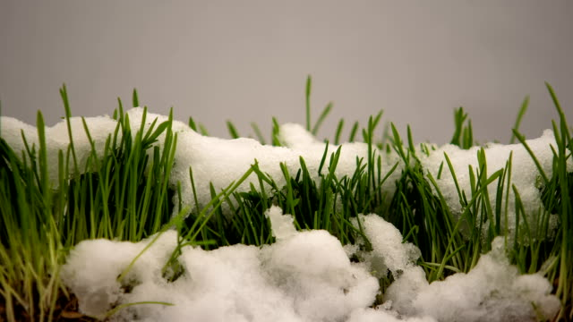 Winter snow melting, showing fresh green grass, spring coming, eco timelapse