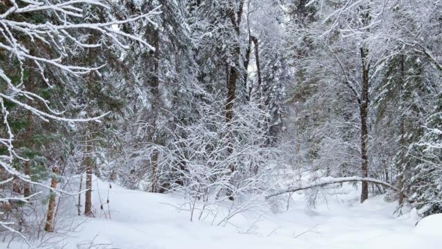Winter taiga forest under heavy snow along Tevenek (Third river) river on the bank of Teletskoe lake video