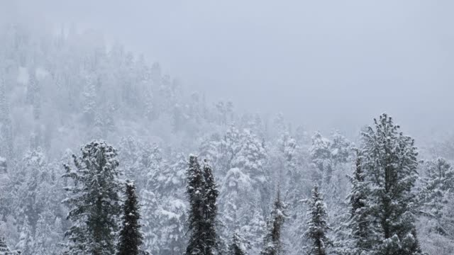 Winter taiga forest under heavy snow on the bank of Teletskoe lake Winter taiga forest under heavy snow on the bank of Teletskoe lake. Artybash, Siberia, Russia siberia stock videos & royalty-free footage