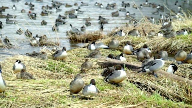 Wintering grounds of Duck (Pintail) Wintering grounds of Duck (Pintail) , nagayama sinkawa asahikawa hokkaido japan, april april stock videos & royalty-free footage