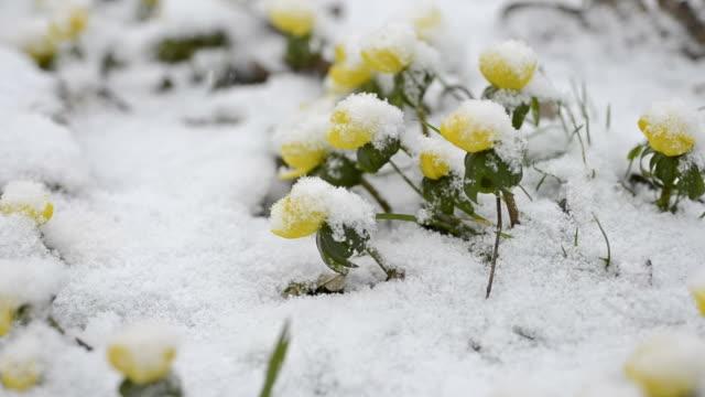雪の中で winterling - 雪点の映像素材/bロール