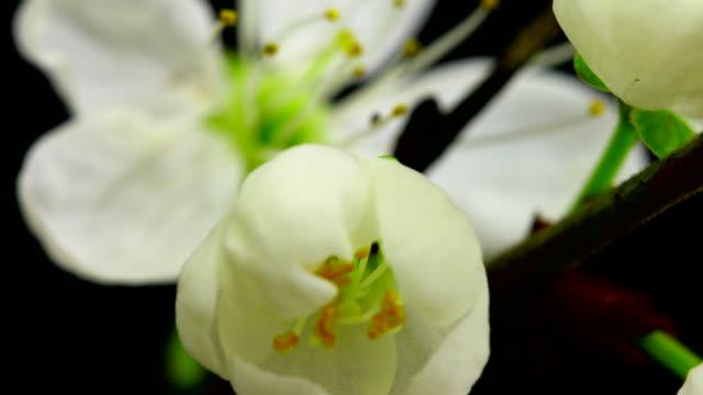 Wite cherry tree flowers blooming 4K video