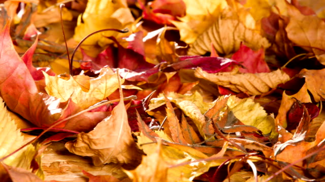 Withered Autumn Leaves Bright autumn leaves rotate on camera heap stock videos & royalty-free footage