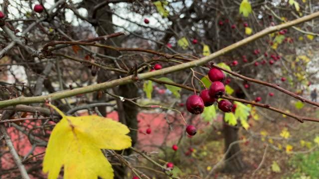 冬に枯れたバラのヒップ - イヌバラ点の映像素材/bロール
