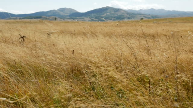 withered yellow grass in autumn in the mountains video