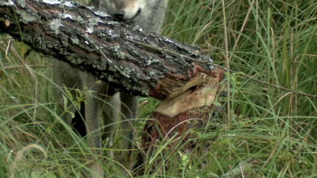 Wolf und Biber Aktivität – Video