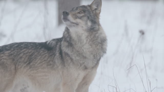 wolf and snow - lupo video stock e b–roll