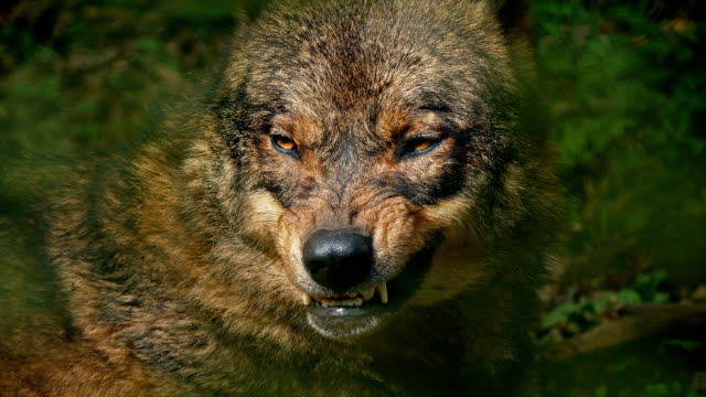 wolf growls in forest closeup - lupo video stock e b–roll