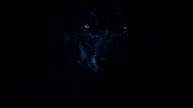 wolf growls in the darkness - guardare fisso video stock e b–roll