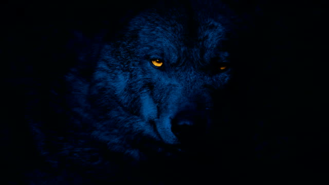 wolf growls with glowing eyes at night - lupo video stock e b–roll