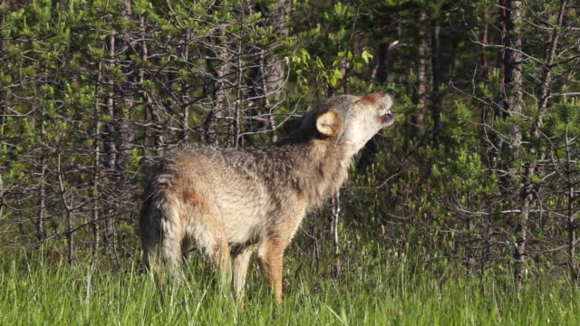 wolf howling on swamp - lupo video stock e b–roll
