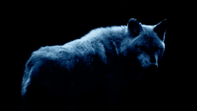 Wolf In Dramatic Moonlight On Black Wolf against black background in stark moonlight mammal stock videos & royalty-free footage