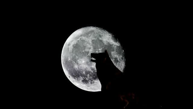 wolf in front of the moon - lupo video stock e b–roll