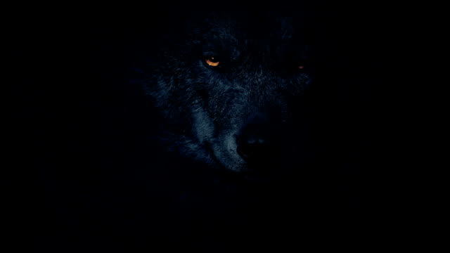 wolf in the dark with fiery eyes - lupo video stock e b–roll