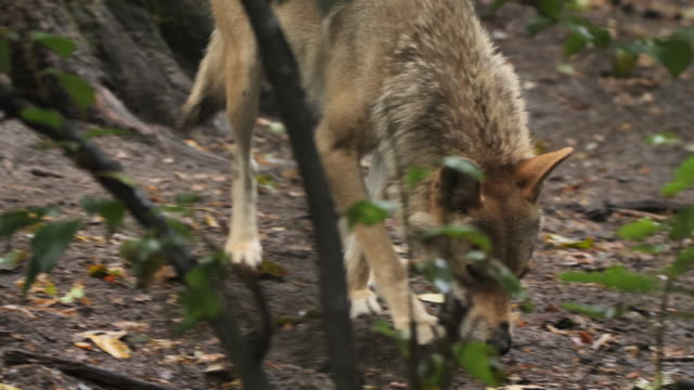 Wolf looking for something in woodland, Russia