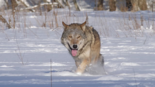 Wolf moving on camera