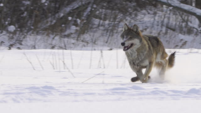wolf running forward to camera, snowing, slomo - lupo video stock e b–roll