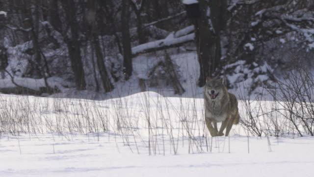 wolf kör fram till operatören - wolf bildbanksvideor och videomaterial från bakom kulisserna