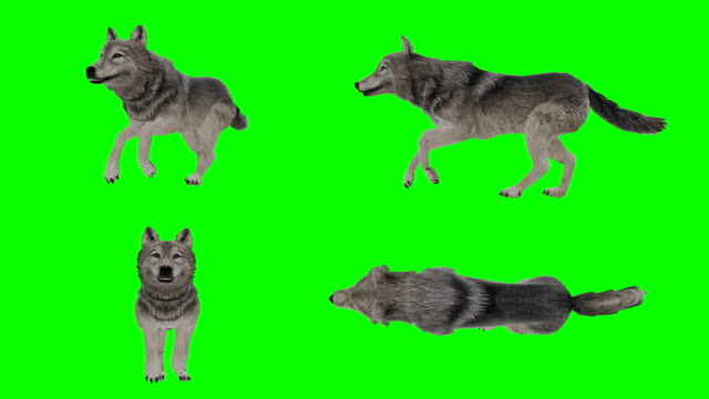 wolf running green screen (loopable) - lupo video stock e b–roll