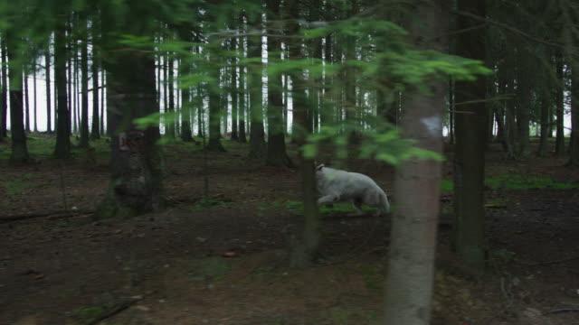 lupo che corre nel bosco - mitologia video stock e b–roll