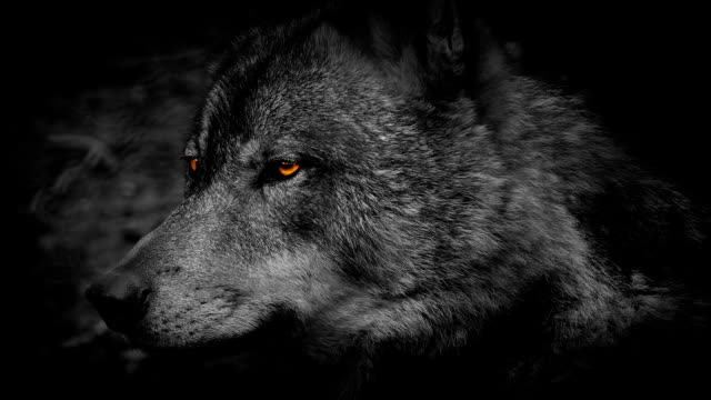 Wolf Side View With Fiery Eyes Abstract video