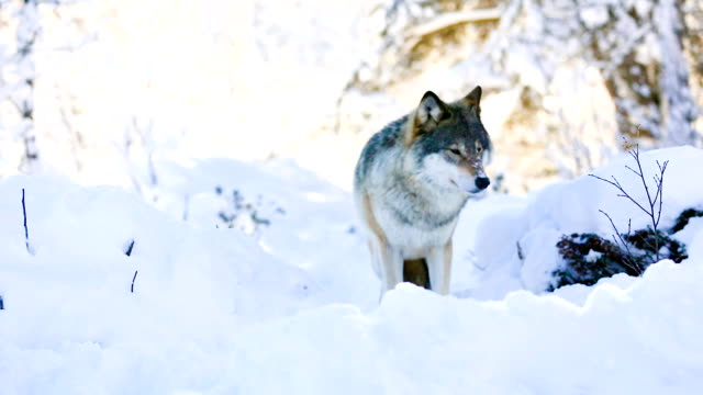 Wolf stands in beautiful winter forest video