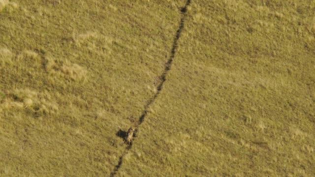 vídeos de stock e filmes b-roll de wolf (canis lupus) western caucasus - coiote