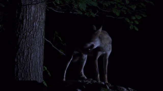 Wolf (Canis lupus) Western Caucasus