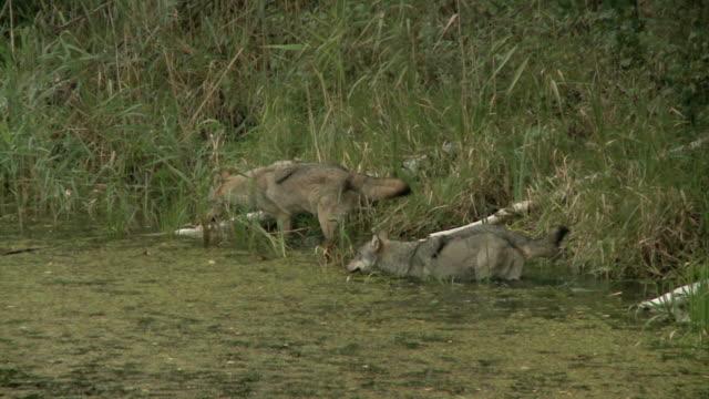 Loups et les activités des castors - Vidéo
