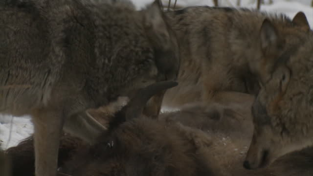 wolves and dead bison cub - lupo video stock e b–roll