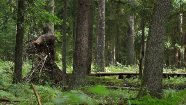 wolves and fallen tree - albero caduto video stock e b–roll