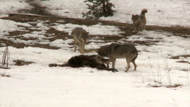 Wolves and victim 3 wolves come to dead victim group of animals stock videos & royalty-free footage