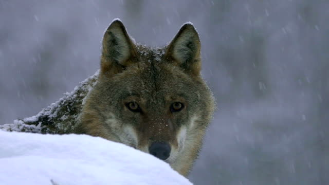 wolves and winter - lupo video stock e b–roll