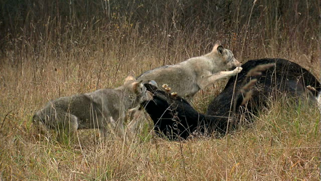 Wolves fighting over meat video