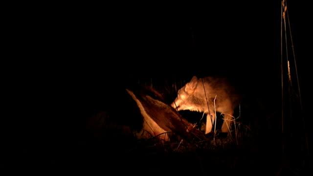wölfe kämpfen über fleisch - großwild stock-videos und b-roll-filmmaterial
