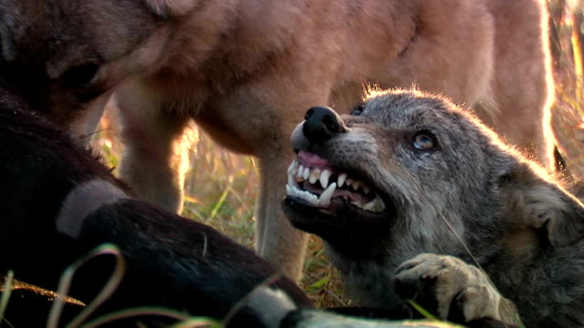 wolves fighting over meat - hunting stock videos and b-roll footage
