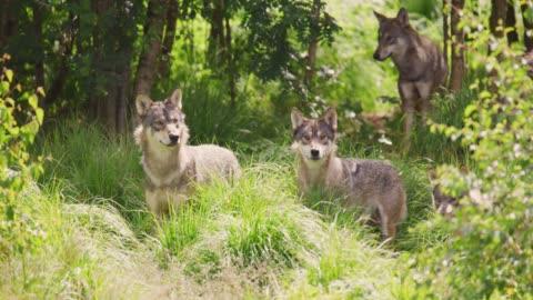 vídeos y material grabado en eventos de stock de lobos en una gran manada de lobos caminando en el bosque - un animal