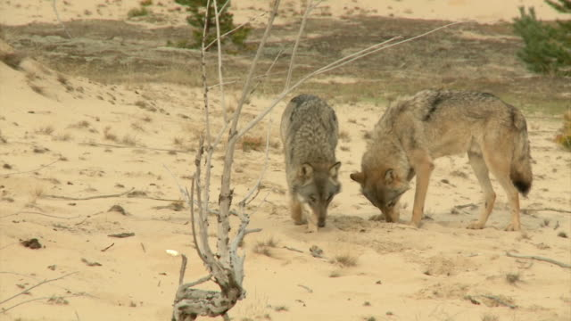 Wolves in steppe