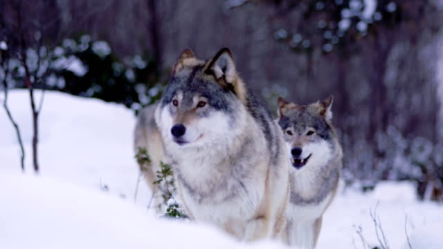 wolves in wolf pack approacing in beautiful winter forest - lupo video stock e b–roll