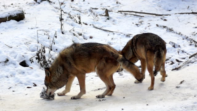 wolves move through a forested area video