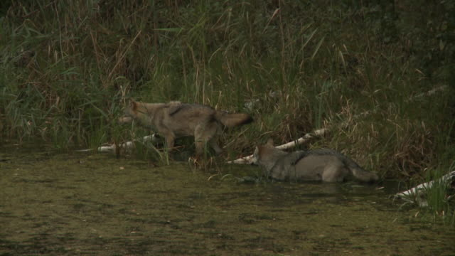 Loups près de castor maison - Vidéo